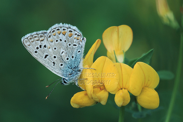 Common Blue (Polyommatus icarus),adult perched on flower, Switzerland