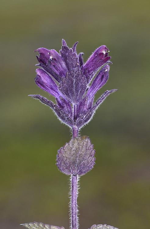 Alpine Bartsia - Bartsia alpina