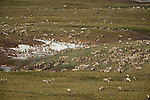 A herd of caribou graze in the arctic plain while others cool off on some residual snow.