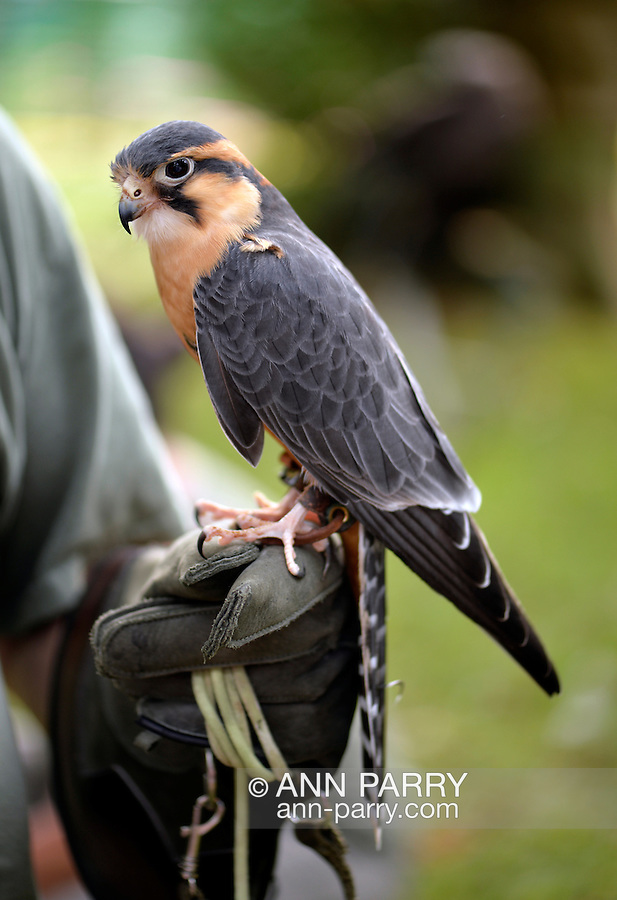 Old Westbury, New York, U.S. - August 23, 2014 - APONE the Aplomado Falcon (Falco femoralis) is from non-profit WINORR, Wildlife in Need of Rescue and Rehabilitation, at the 54th Annual Long Island Scottish Festival and Highland Games, co-hosted by L. I. Scottish Clan MacDuff, at Old Westbury Gardens. WINORR is run by the Horvaths, licensed animal rehabilitators in North Massapequa.