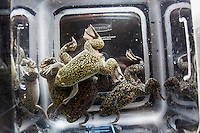 Frogs swim in tanks in Dr. Michael Levin's lab at the Tufts Center for Regenerative and Developmental Biology in the Department of Biology at Tufts University in Medford, Massachusetts, USA. Levin's research focuses on the way that animal cells communicate with one another during embryonic development and cell and tissue regeneration. Levin's lab currently uses frogs and freshwater planaria worms for research.