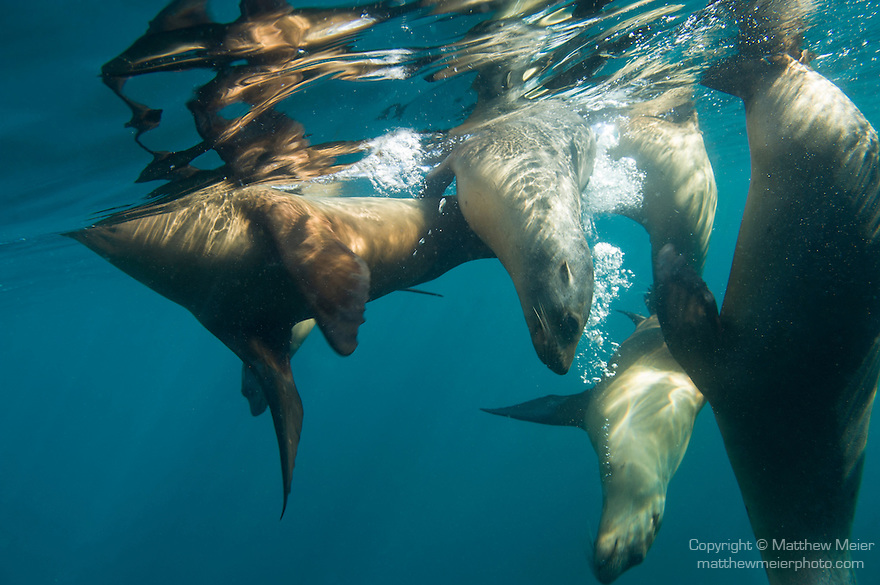 Sea of Cortez, Baja California, Mexico; a group of California Sea Lions (Zalophus californianus) reflecting in the surface of the water
