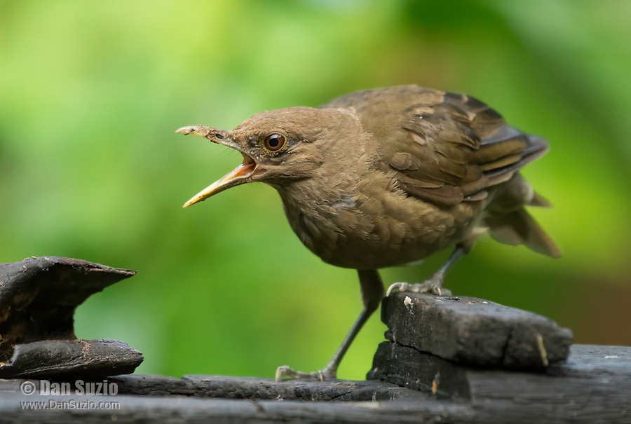 Clay-colored Thrush, Turdus grayi, reacting to other birds at a feeder in Sarapiquí, Costa Rica