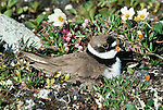 Semipalmated plover on nest, Jago River, Arctic National Wildlife Refuge, Alaska, USA