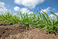 Winter wheat plants - Lincolnshire, April