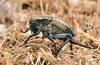 Sattelschrecke, Weibchen, Bradyporus dasypus, female