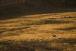 Argali (Ovis ammon) female in grassland, Sarychat-Ertash Strict Nature Reserve, Tien Shan Mountains, eastern Kyrgyzstan