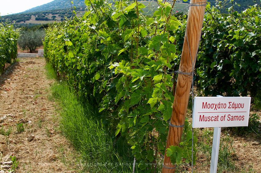 Vines. Muscat of Samos vine variety. Biblia Chora Winery, Kokkinohori, Kavala, Macedonia, Greece