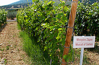 Vines. Muscat of Samos vine variety. Biblia Chora Winery, Kokkinohori, Kavala, Macedonia, Greece