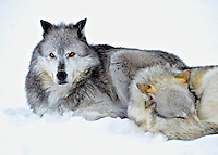Male and female grey wolves huddle together on a cold Montana morning.