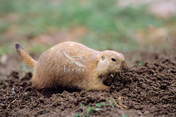 Black-tailed Prairie dog works around burrow after summer rain.   See photos # Mi638, 698, 699, 701, 708, 710, 711, 715. 716b--all part of this series.