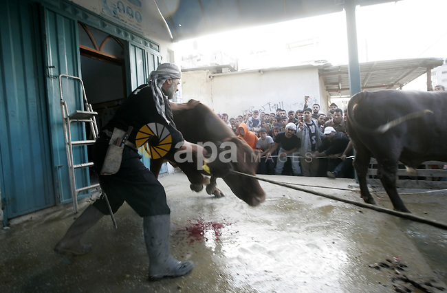 A Palestinians slaughter a calf and sheep on the first day of the Muslim holiday of Eid al-Adha in Gaza City November 27, 2009. Muslims around the world celebrate Eid al-Adha to mark the end of the haj by slaughtering sheep, goats, cows and camels to commemorate Prophet Abraham's willingness to sacrifice his son Ismail on God's command. Photo By Abed Rahim Khatib