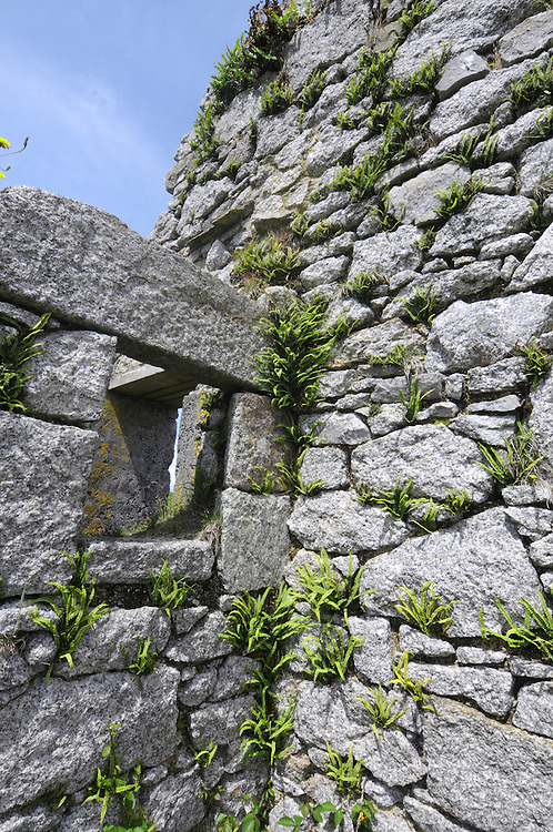 Maidenhair Spleenwort - Asplenium trichomanes growing on the walls of ruined cottages, Lundy, Devon