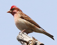 Male Cassin's finch