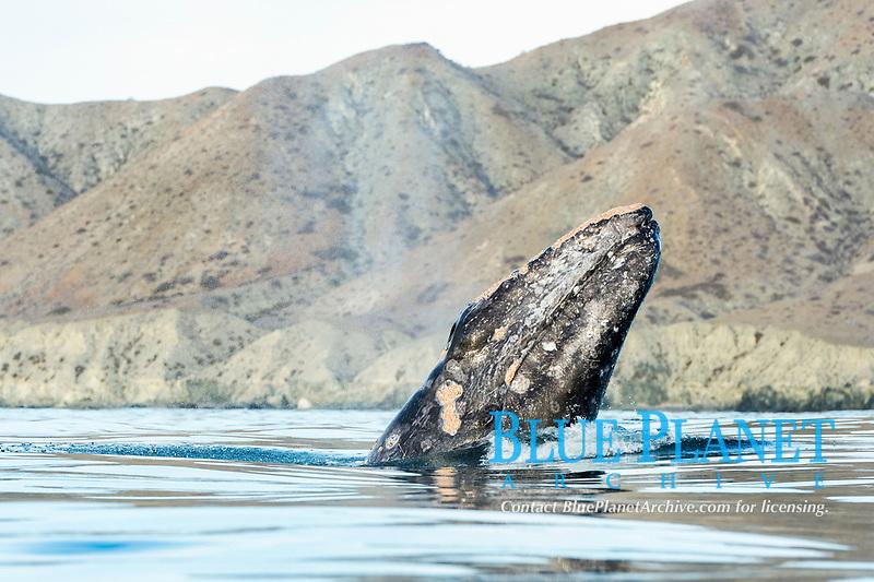 gray whale, Eschrichtius robustus, spyhopping, Baja California, Mexico, Pacific Ocean