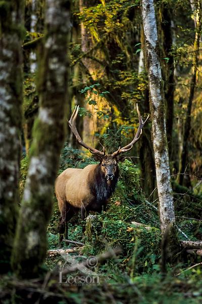 Roosevelt Elk Bull in Olympic Rain Forest setting.  Washington.  Fall.