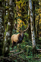 Roosevelt Elk Bull in Olympic Rain Forest setting.  Washington.  Fall.