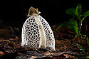 Fully formed maiden's veil or bridal veil fungus (Phallus indusiatus)(sometimes genus Dictyophora) on the rainforest floor. Heath River, Tambopata / Bahuaja-Sonene Reserves, Amazonia, Peru / Bolivia border.
