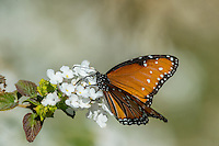 Queen butterfly (Danaus gilippus) nectaring/feeding.  Southern California Sonoran Desert.  Queen butterflies are found across the southern U.S. south to Argentina.