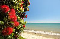 Pohutukawa in bloom near a beach, summer, Golden Bay, South Island