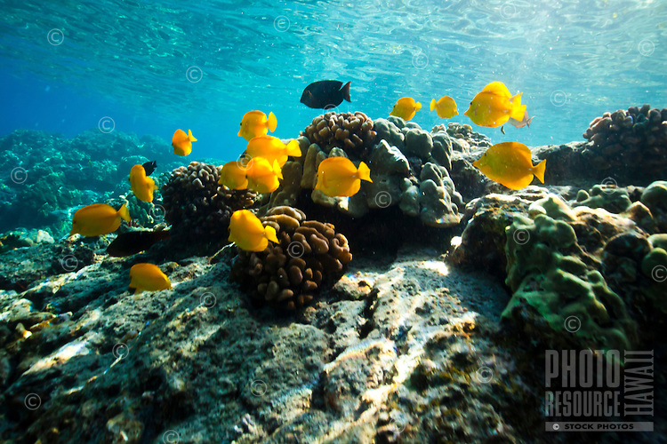 A school of yellow and achilles tang fish feeding in the sunlit waters of Kealakekua Bay, Big Island
