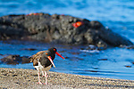 A pair of Oystercatchers on Santiago Island in the Galapagos National Park, Galapagos, Ecuador, South America