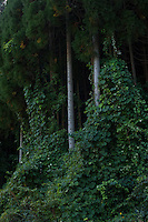 Vines wind up a plantation of sugi trees in the forested mountains of rural Nagano Prefecture.