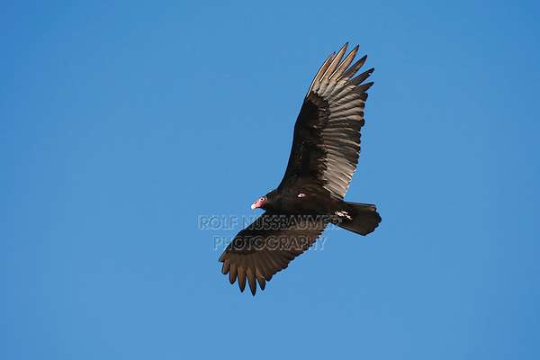 Turkey Vulture (Cathartes aura), adult in flight, Sinton, Corpus Christi, Coastal Bend, Texas, USA