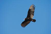 Turkey Vulture (Cathartes aura), adult in flight, Sinton, Corpus Christi, Coastal Bend, Texas, USA