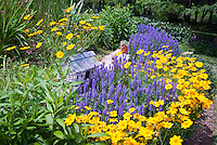 Coreopsis Sunshine Superman & Salvia Blue Hill, blue and yellow gold color theme garden with bird house, sunny summer perennial flowers