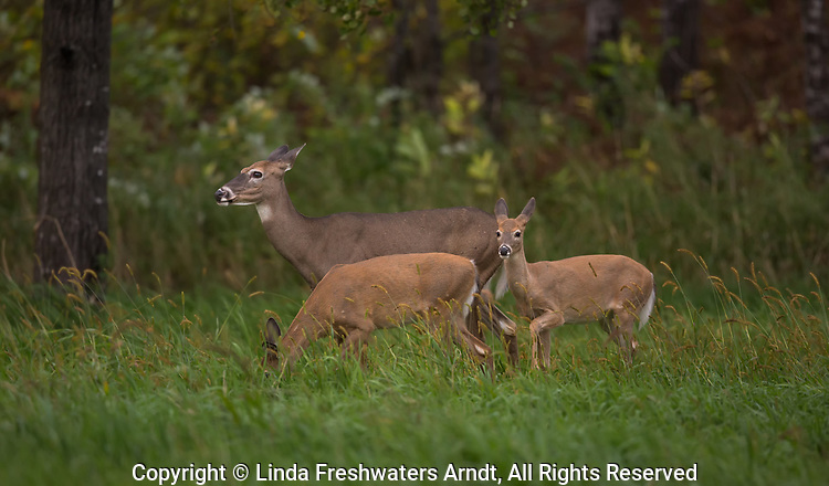 White-tailed doe with her fawns in an autumn meadow.