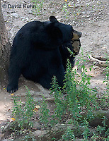 1021-1004  American Black Bear Scratching Itself, Ursus americanus  © David Kuhn/Dwight Kuhn Photography