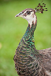 Las Terrazas, Cuba; a peahen on the grounds at Las Terrazas, peahens are female peafowl birds