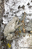 0202-0909  Eastern Gray Treefrog on White Bark (Grey Tree Frog), Hyla versicolor  © David Kuhn/Dwight Kuhn Photography