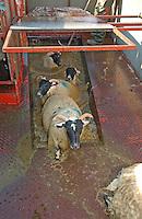 Scottish Blackface ewes leaving a mobile dip, Whitewell, Lancashire.....Copyright..John Eveson,.Dinkling Green Farm,.Whitewell,.Clitheroe,.Lancashire..BB7 3BN.Tel. 01995 61280.Mobile 07973 482705.j.r.eveson@btinternet.com.www.johneveson.com