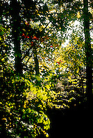 PHOTOSYNTHESIS<br /> Northeastern Forest<br /> Haverstraw, NY