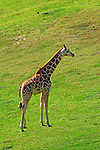 IMAGES OF SAN DIEGO, CALIFORNIA, USA, WILD ANIMAL PARK; Giraffe (Giraffa camelopardalis)  African even-toed ungulate mammal