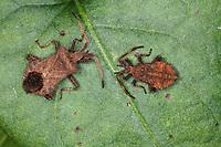 Lederwanze, adultes Tier und Nymphe, Larve, Saumwanze, Leder-Wanze, Saum-Wanze, Coreus marginatus, Mesocerus marginatus, squash bug, Randwanzen, Lederwanzen, Coreidae, leaf-footed bugs
