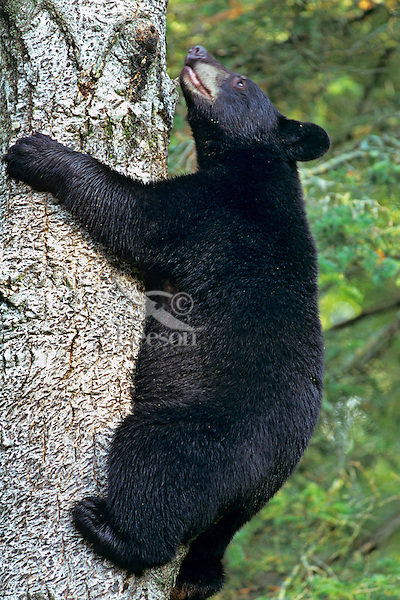Black Bear (Ursus americanus) climbing tree.  Trees are often a place where black bears feel relatively safe.
