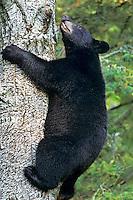 Black Bear (Ursus americanus) climbing tree.  Trees are often a place where black bears feel relatively safe.