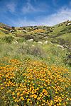 Escondido, California; a field of orange California Poppies,  purple lupine and yellow mustard flowers on a hillside with rock formations on a sunny afternoon