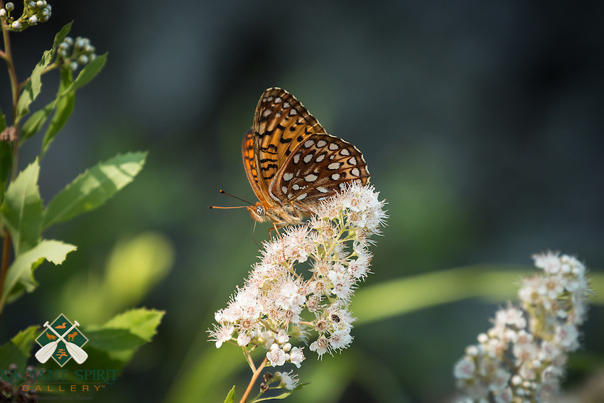 &quot;Fritillary Butterfly in Quetico&quot;<br />