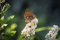 """Fritillary Butterfly in Quetico""<br />