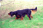 Gordon Setter<br />