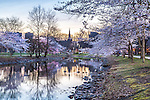 Cherry blossoms blooming on the Charles River Esplanade, Boston, Massachusetts, USA