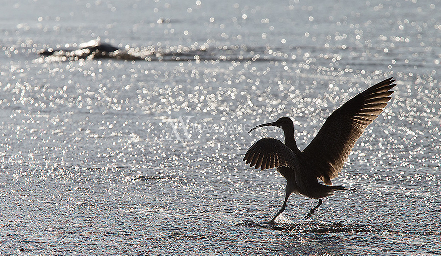 A whimbrel lands on the beach in Corcovado National Park.