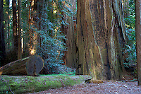 California Redwoods, California Redwoods State Park, avenue of the Giants, Phillipsville, California