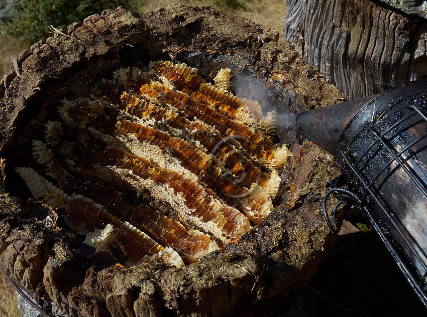 A chestnut tree trunk hive in the C&eacute;vennes. In this type of hive the construction by the bees is natural and we can see the honey combs.<br /> Une ruche tronc des C&eacute;vennes en ch&acirc;taignier. Dans cet type de ruche la construction des abeilles est naturelle et l&rsquo;on observe les rayons de miel.