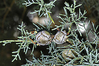 Smooth Arizona Cypress Cupressus glabra (Cupressaceae) HEIGHT to 22m. British form grows into a neat, ovoid tree with blue-grey foliage often with white tips. In the wild (in Arizona) it is more spreading. BARK Reddish or purplish; falls away in rounded flakes in older specimens, revealing yellow or reddish patches. LEAVES Greyish-green, often with a central white spot; grapefruit-scented. REPRODUCTIVE PARTS Male cones are small, yellow and grow at tips of shoots. Female cones are oval, up to 2.5cm across when mature, and greenish-brown; scales have a central blunt projection. STATUS AND DISTRIBUTION Native to Arizona, planted in our region for ornament and hedging.