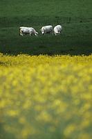 Europe/France/Limousin/23/Creuse/Env Gouzon: Pâturage